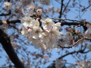 桜見ウォーキング HP用(4.4)④