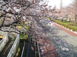 桜見ウォーキング HP用(4.4)③